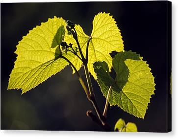 Amur River Grape Leaves (vitis Amurensis) Canvas Print by Dr. Nick Kurzenko