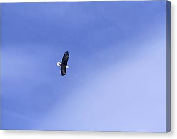 An American Bald Eagle In Flight Canvas Print by Heather Perry
