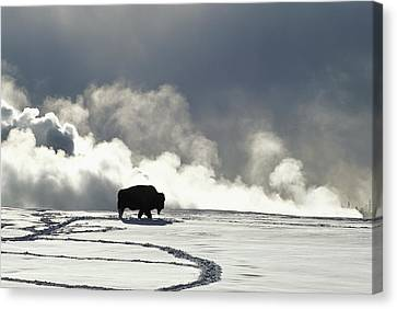 An American Bison Bison Bison Covered Canvas Print by Norbert Rosing