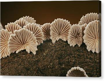 An Array Of Common Split Gill Mushrooms Canvas Print by Darlyne A. Murawski