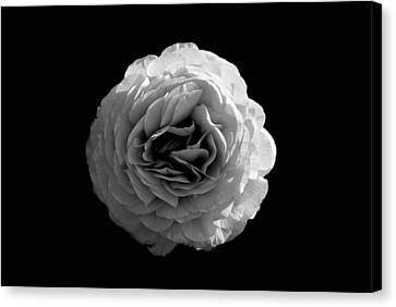 An English Rose Canvas Print by Sumit Mehndiratta