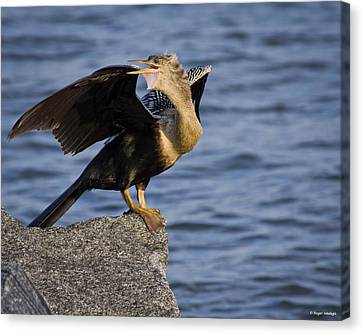 Anhinga Looking Back Canvas Print by Roger Wedegis
