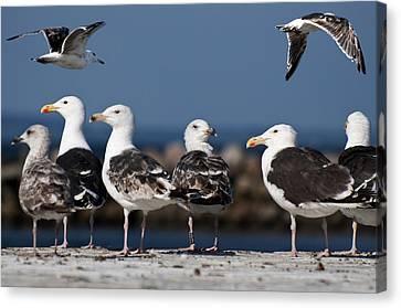 Annual Seagull Congress Canvas Print by Michael Mogensen