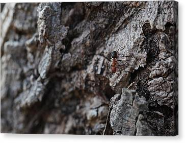 Ant Canvas Print by Pan Orsatti