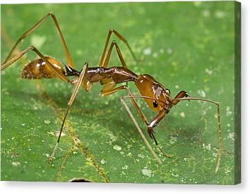 Ant Showing Large Mandibles Guyana Canvas Print by Piotr Naskrecki