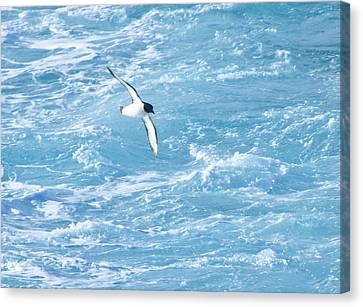 Antarctic Petrel Canvas Print by Kelly Cheng Travel Photography
