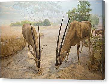 Antelope In The Sand With Their Heads Canvas Print by Laura Ciapponi