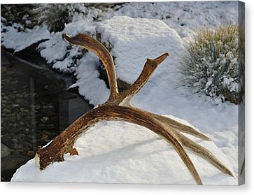 Antler 2 Canvas Print by Heather L Wright