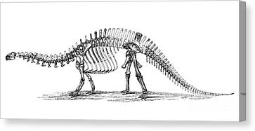 Apatosaurus Excelsus,  Aka Brontosaurus Canvas Print by Science Source