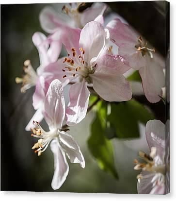 Apple Blossom Canvas Print by Ralf Kaiser