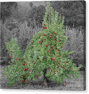Apple Tree Canvas Print by John Small