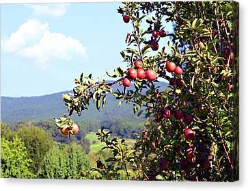 Apples On A Tree Canvas Print by Susan Leggett