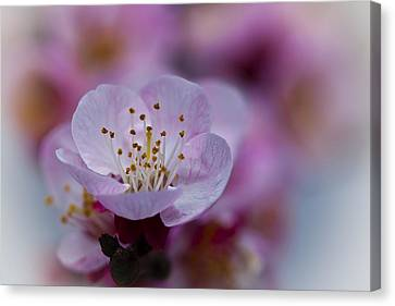 Apricot Flower Close Up Canvas Print by Marc Garrido