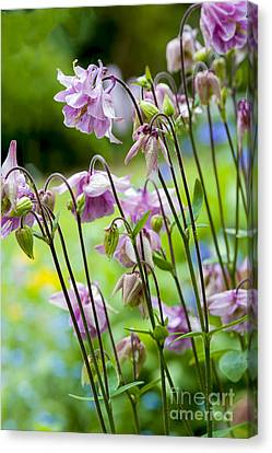 Aquilegia In Spring Flowers Canvas Print by Donald Davis