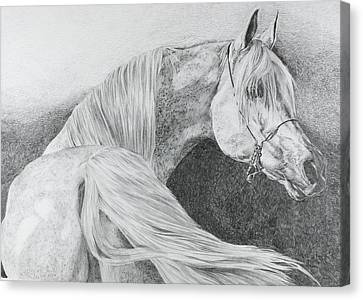 'arabian Grey' Canvas Print by Sue  Miles