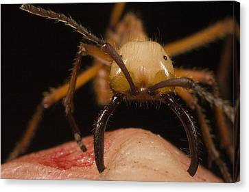 Army Ant Eciton Biting Finger Canvas Print by Mark Moffett