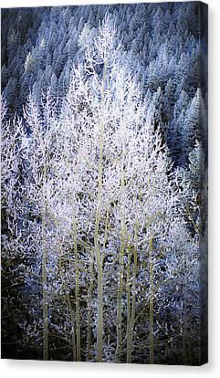 Aspen Lace Canvas Print by Beth Riser