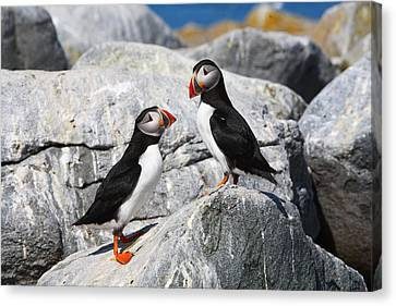 Atlantic Puffins Canvas Print by Bruce J Robinson
