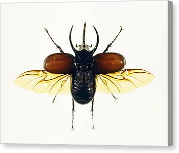 Atlas Beetle Canvas Print by Lawrence Lawry