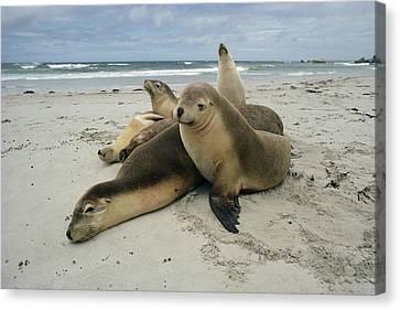 Australian Sea Lion Neophoca Cinerea Canvas Print by Gerry Ellis
