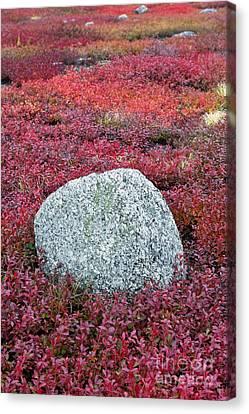 Autumn Blueberry Field Canvas Print by John Greim