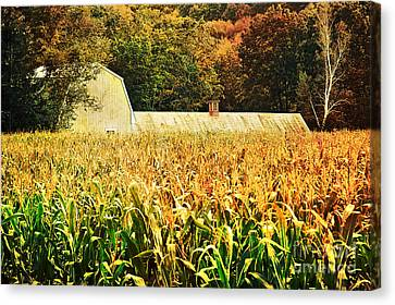 autumn cornfield in Granville MA Canvas Print by HD Connelly