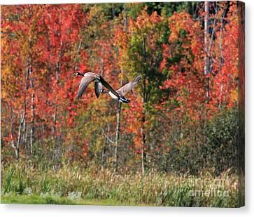 Autumn Vermont Geese And Color Canvas Print by Deborah Benoit