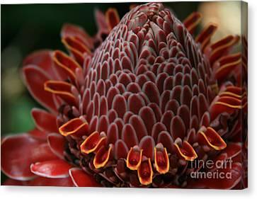 Awapuhi Ko Okoo - Torch Ginger - Etlingera Elatior  - Phaeomeria Magnifica - Hoolawa Liilii Hawaii Canvas Print by Sharon Mau