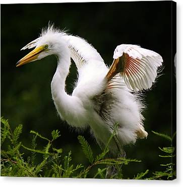 Baby Egret Wings Canvas Print by Paulette Thomas