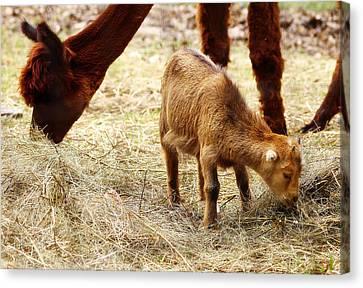 Baby Goat 3 Canvas Print by Scott Hovind