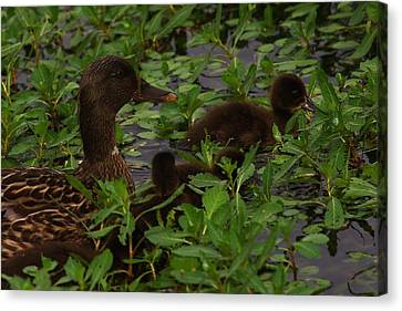 Baby Mallards Canvas Print by Billy  Griffis Jr