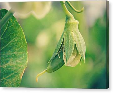 Baby Pea Canvas Print by Amy Schauland