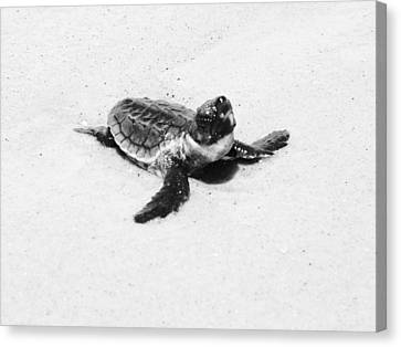 Baby Sea Turtle  Canvas Print by Lillie Wilde
