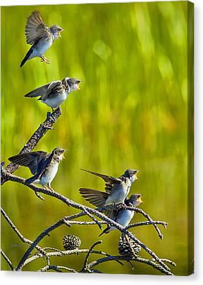 Baby Tree Swallows Feeding #1 Canvas Print by John Stoj