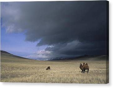 Bactrian Camels In Bayan-ulgii,mongolia Canvas Print by David Edwards