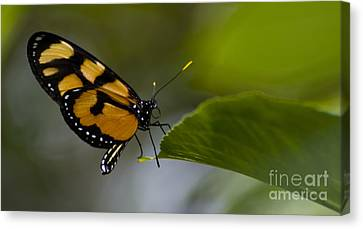 Balancing Act Canvas Print by Heather Applegate