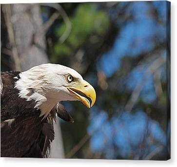 Bald Eagle At Mclane Center Canvas Print by Peter Gray