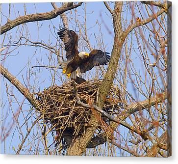 Bald Eagles Nest Canvas Print by J Larry Walker