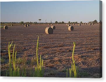 Bales In Peanut Field 12 Canvas Print by Douglas Barnett