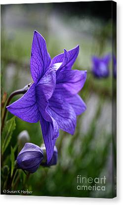 Balloon Flower Profile Canvas Print by Susan Herber