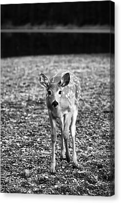 Bambi In Black And White Canvas Print by Sebastian Musial