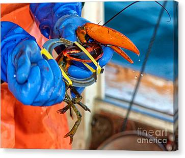Banding An American Lobster In Chatham On Cape Cod Canvas Print by Matt Suess