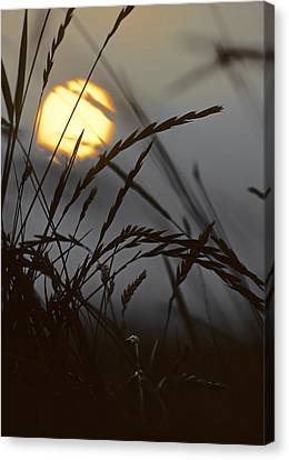Barley Sunrise Canvas Print by Nigel Forster