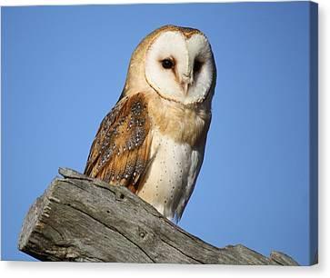 Barn Owl Canvas Print by Paulette Thomas