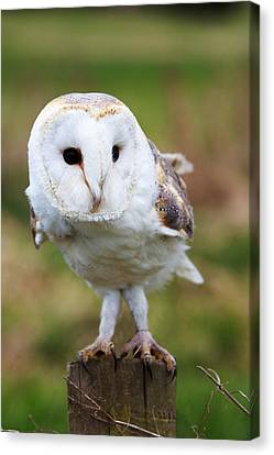Barn Owl Canvas Print by Pete Reynolds