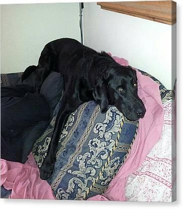 Sofa Canvas Print featuring the photograph #barney #labrador #hiding #sofa #home by Dave Harris
