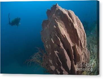 Barrel Sponge And Diver, Papua New Canvas Print by Steve Jones
