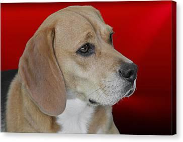 Beagle - A Hound's Hound Canvas Print by Christine Till