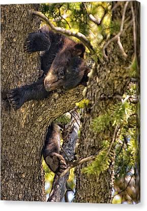 Bear Cub Knapping Up A Tree Canvas Print by Paul W Sharpe Aka Wizard of Wonders