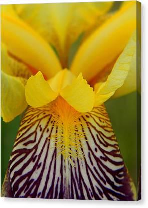 Bearded Iris Canvas Print by Mark J Seefeldt